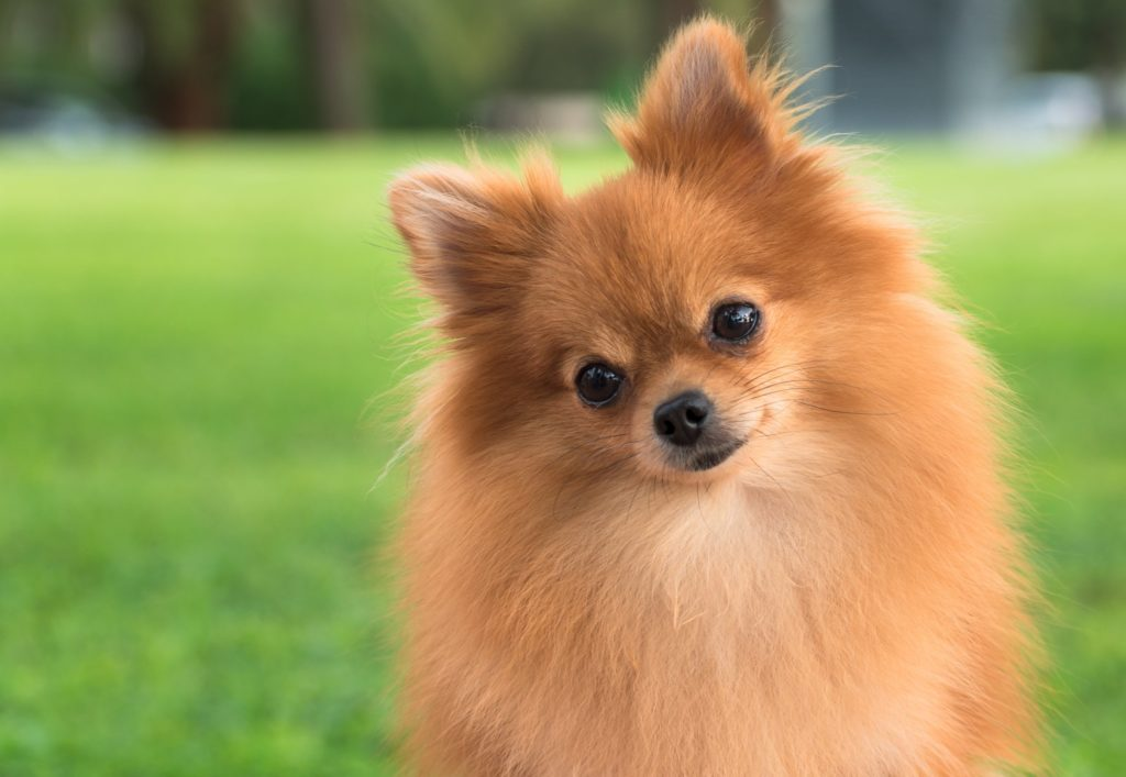 Pomeranian boo Özellik