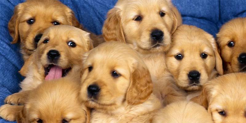 köpekler kaç ayda doğar