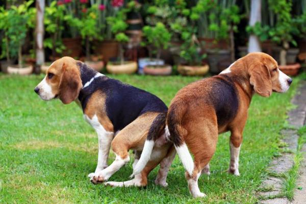 Köpekler Çiftleşirken Neden Kitlenir