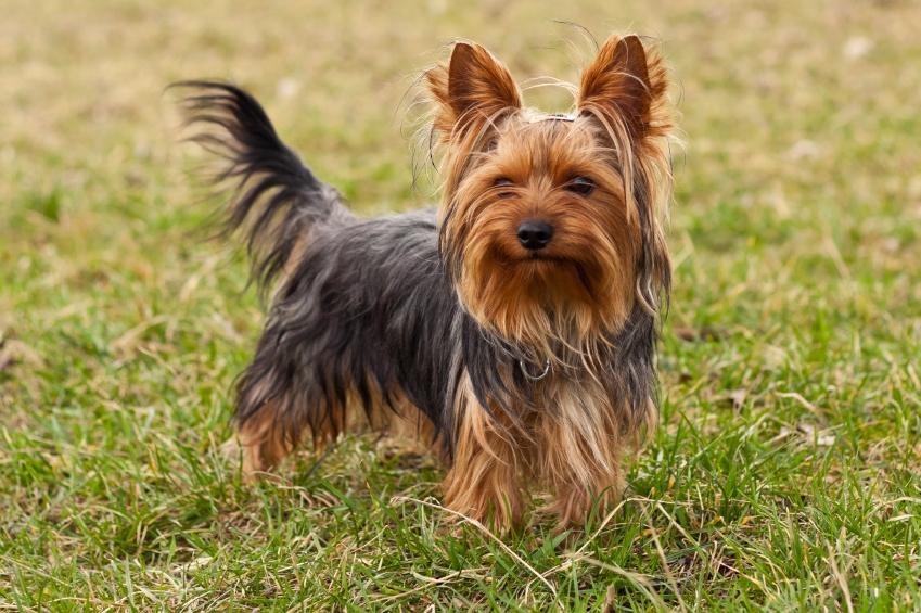 Yorkshire terrier özellikleri