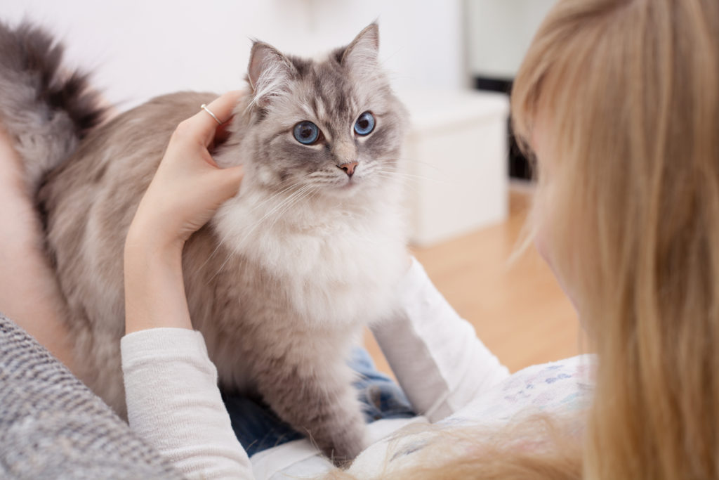 Radgoll kedisi