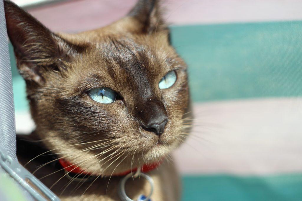Tonkinese kedisi