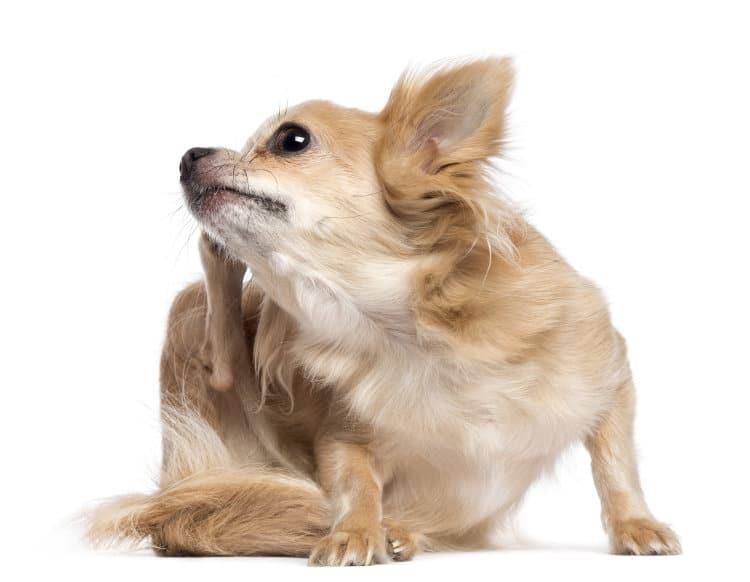 köpeklerde kaşıntı nedenleri