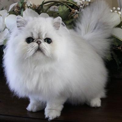iran kedisi