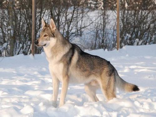 çekoslovak kurt köpeği