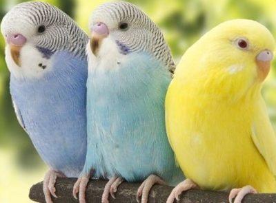 muhabbet kuşları özellikleri
