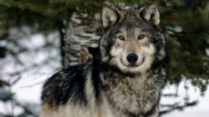 Sibirya kurt köpeği