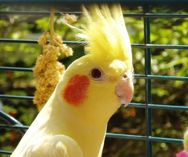 sultan papağanı ne yer