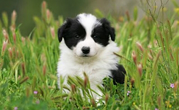 border collie yavru