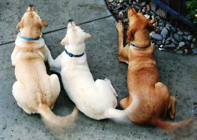 köpeklerin kuyruk sallaması