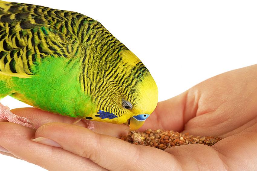 muhabbet kuşu nasıl beslenir