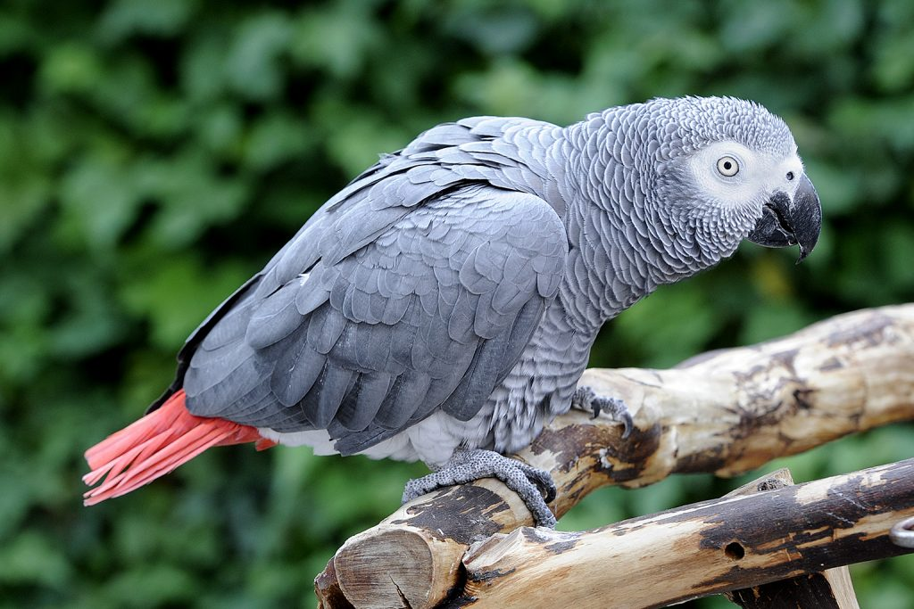 jako papağanının bakımı