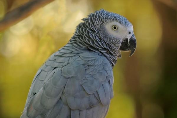 jako papağanının özellikleri