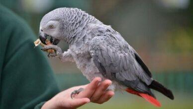 jako papağanı