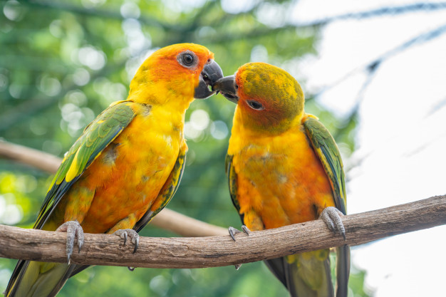 sevda papağanı özellikleri